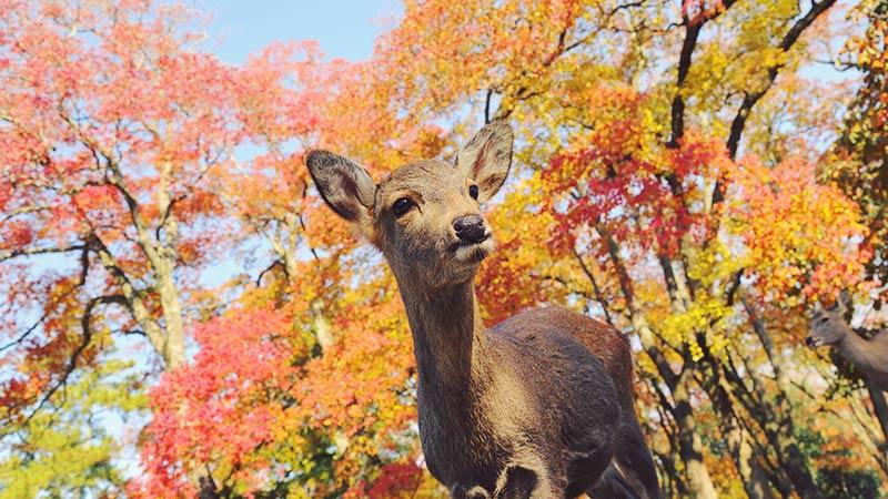 奈良の鹿のベストショット